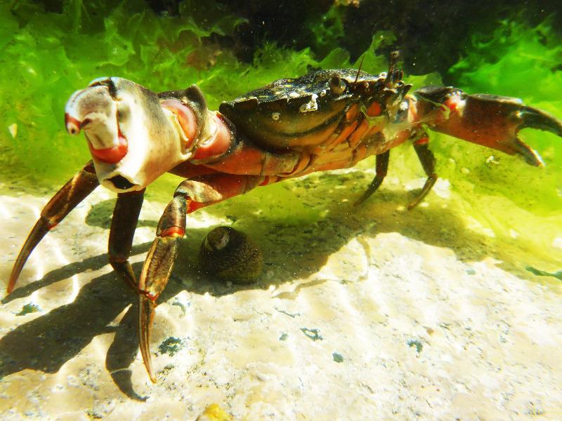 feisty green shore crab