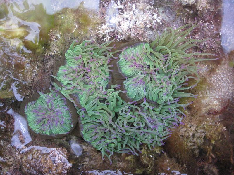 snakelocks anemone by Amy Marsden